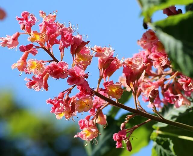 Marronnier à fleurs rouges